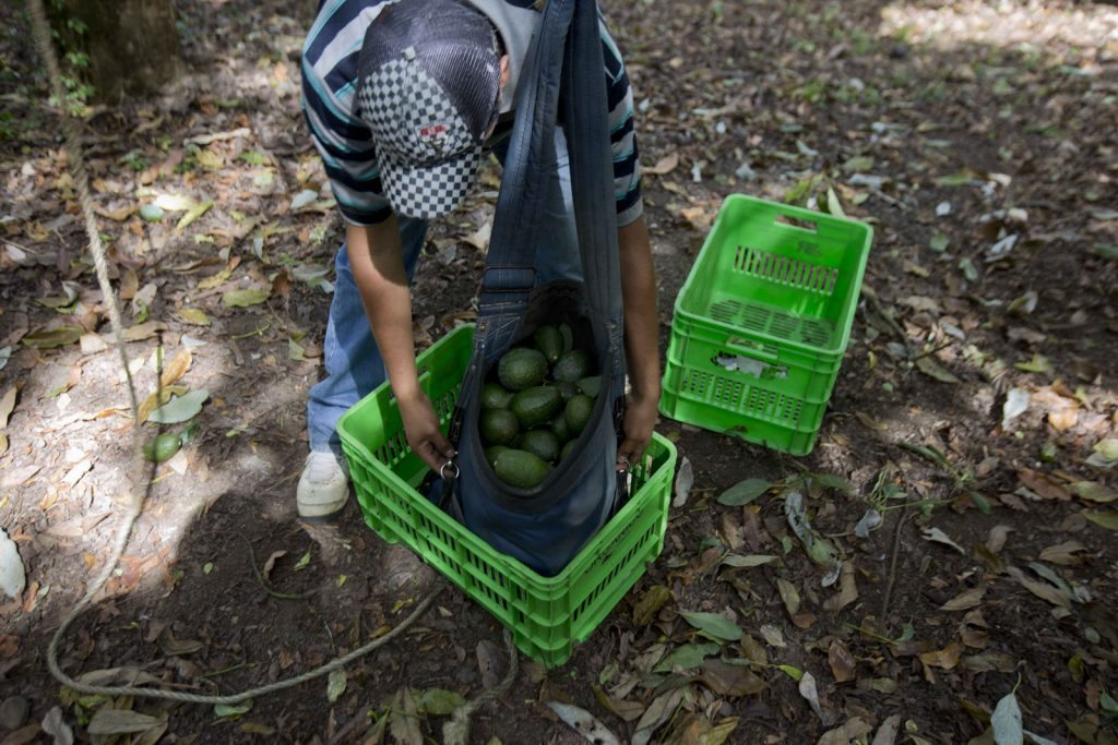 Campo-aguacate