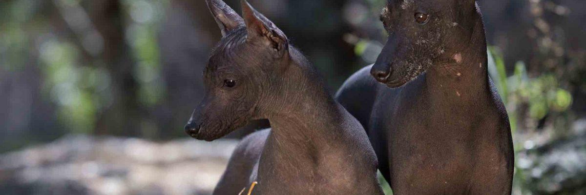 Xoloizcuintle: Celebremos a la única raza de perro mexicana