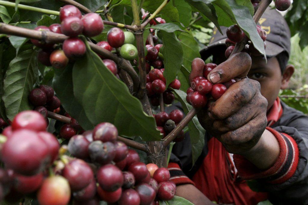 Cosecha de café en Costa Rica