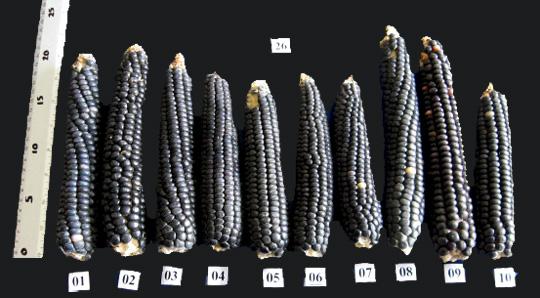 propiedades del maiz azul