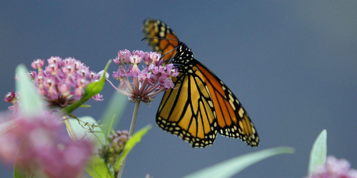 Mariposas migran a Michoacán
