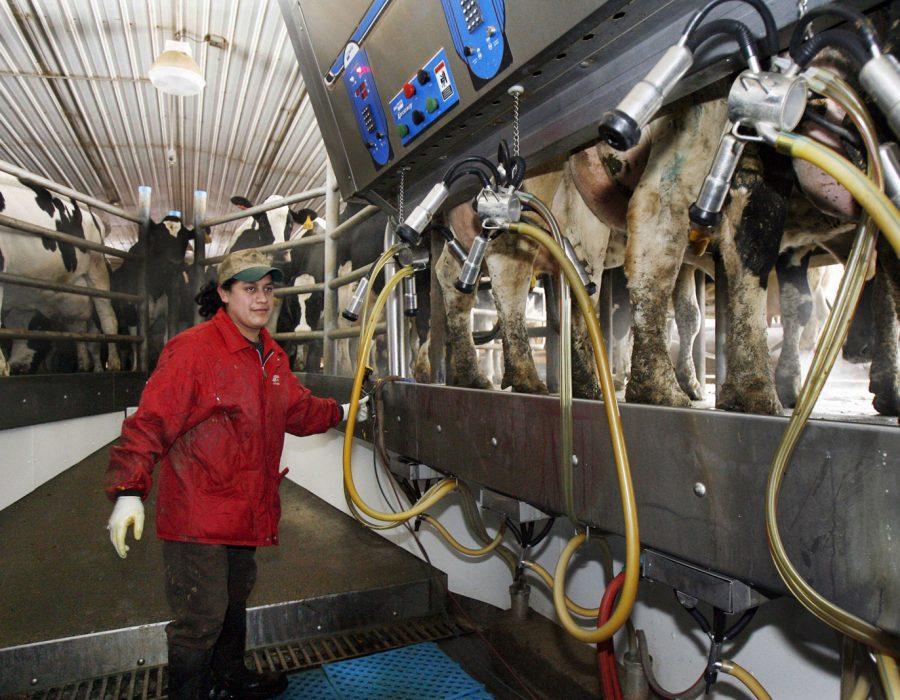 Trabajadores inmigrantes en granjas lecheras