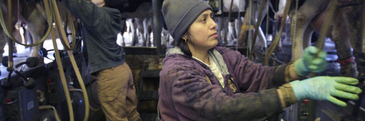 Trabajadores inmigrantes en granjas de leche