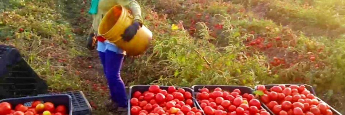 Gobierno de EUA golpea al campo mexicano; tomate mexicano pagará más impuestos