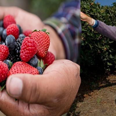 Las berries mexicanas se convierten en la nueva obsesión del mundo