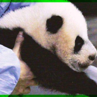 Revelan el nacimiento de un panda gigante en China