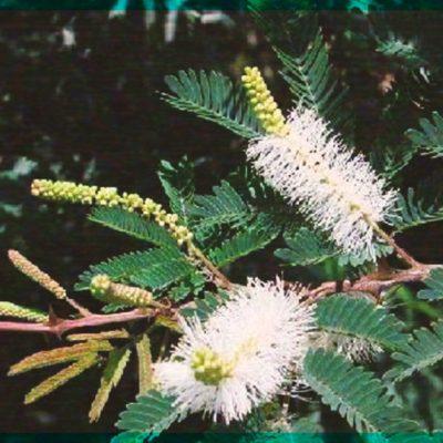 """Tepezcohuite, el árbol 100% mexicano que da """"belleza eterna"""""""